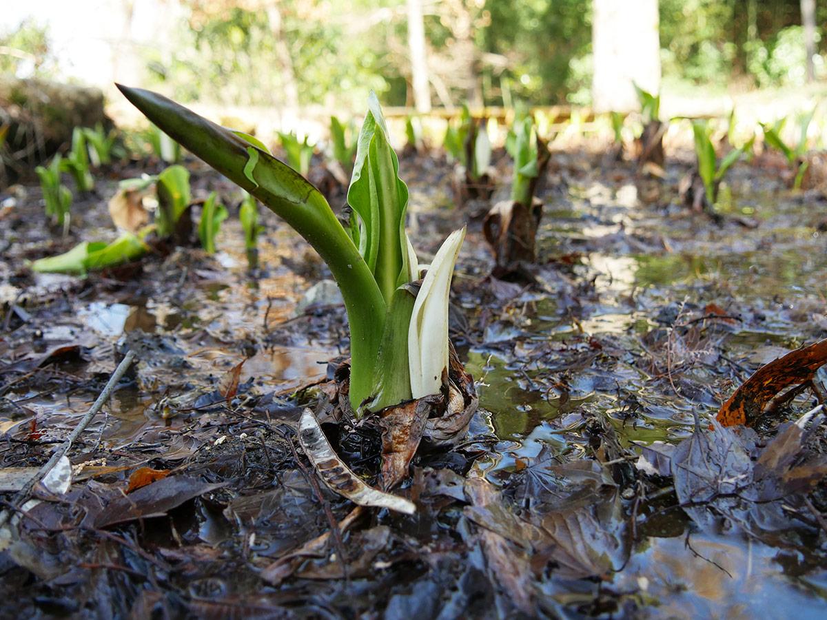 前回から1週間、仏炎苞が葉に寄り添って伸びてきました。全体的に多く見られるようになりました。