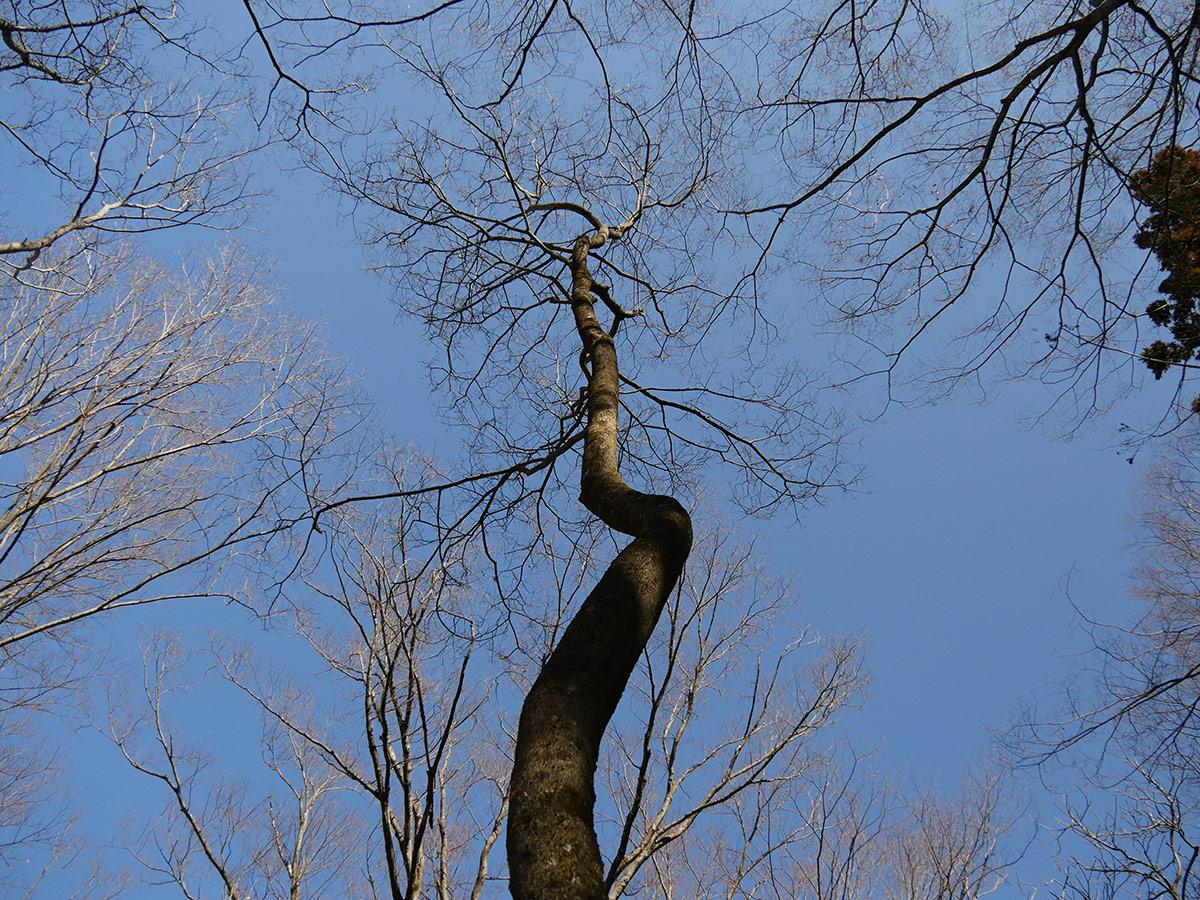 ジャックと豆の木を彷彿させる?クネクネと天に伸びた木。