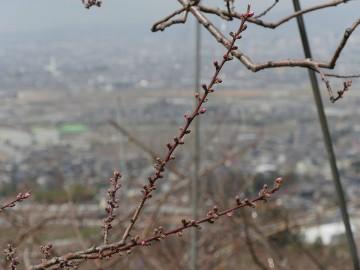 2015furusatomomo_0328_04