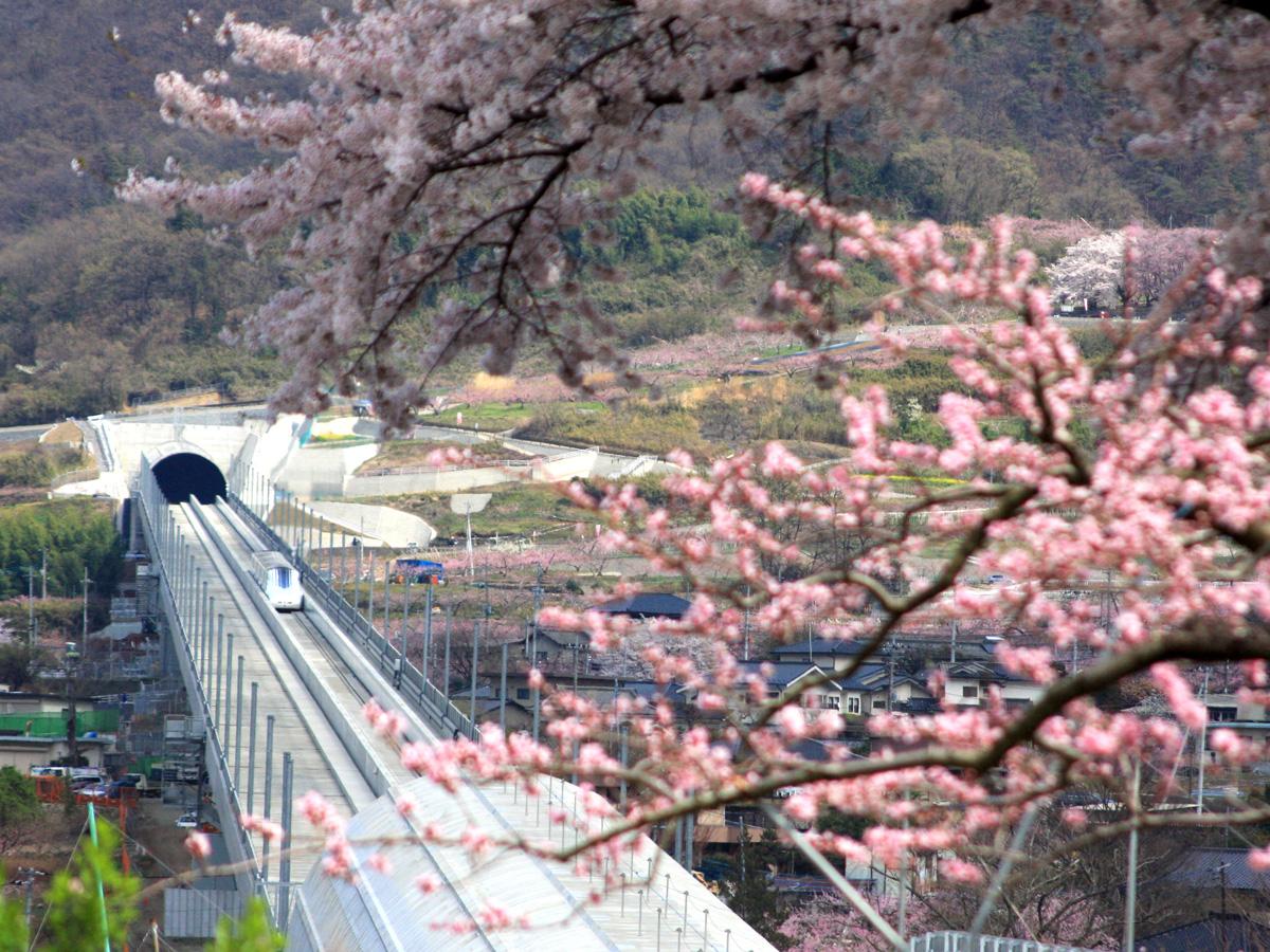 運良く停止したリニアと桜・桃の花の共演 運良く停止したリニアと桜・桃の花の共演 甲州蚕影桜(こう