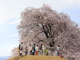 甲州蚕影桜(こうしゅうこかげざくら)