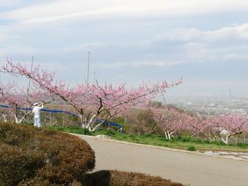 20150406furusato_momo_04