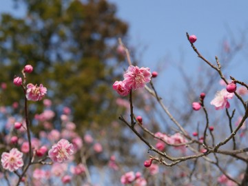 公園入り口駐車場の梅の花ですが見頃でした