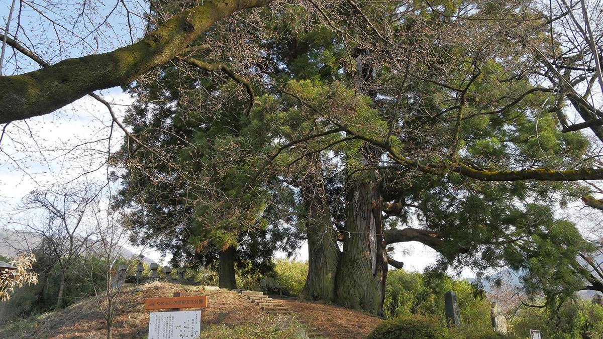 花鳥山一本杉、とは言うものの実際には2本がついた状態です