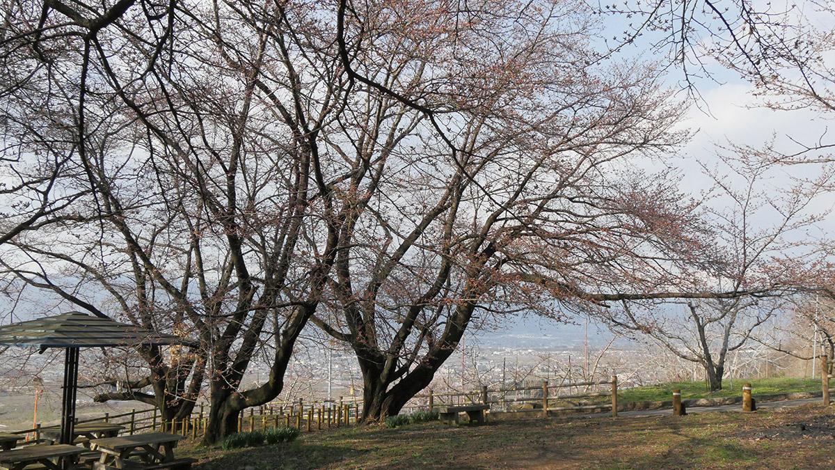 2016sakura_hanatori0324_006