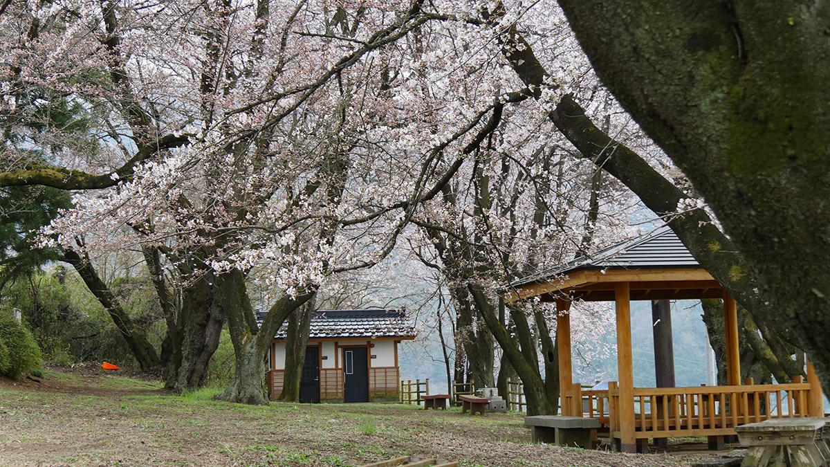 2016sakura_hanatori0330_004