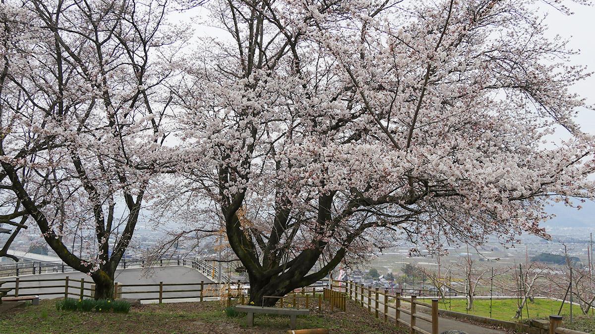 2016sakura_hanatori0330_009