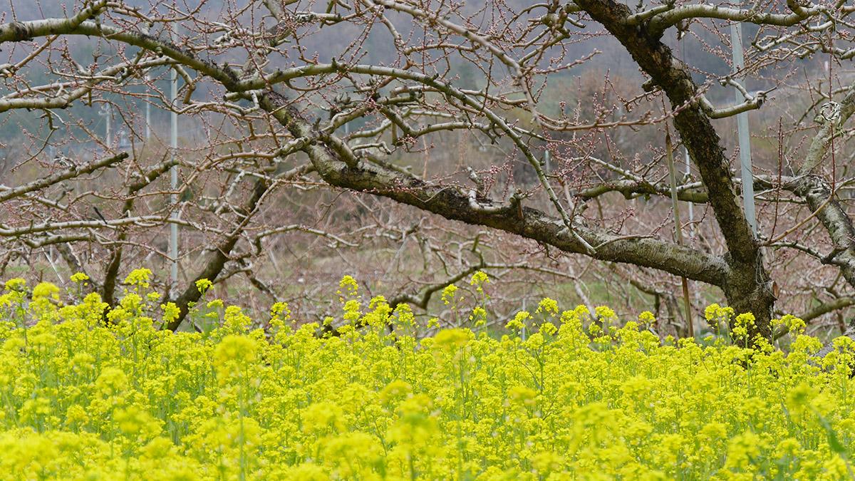 花鳥山から直下に見える「花鳥窯」石原専邦さんの作陶展会場の菜の花で9、10日開催です。