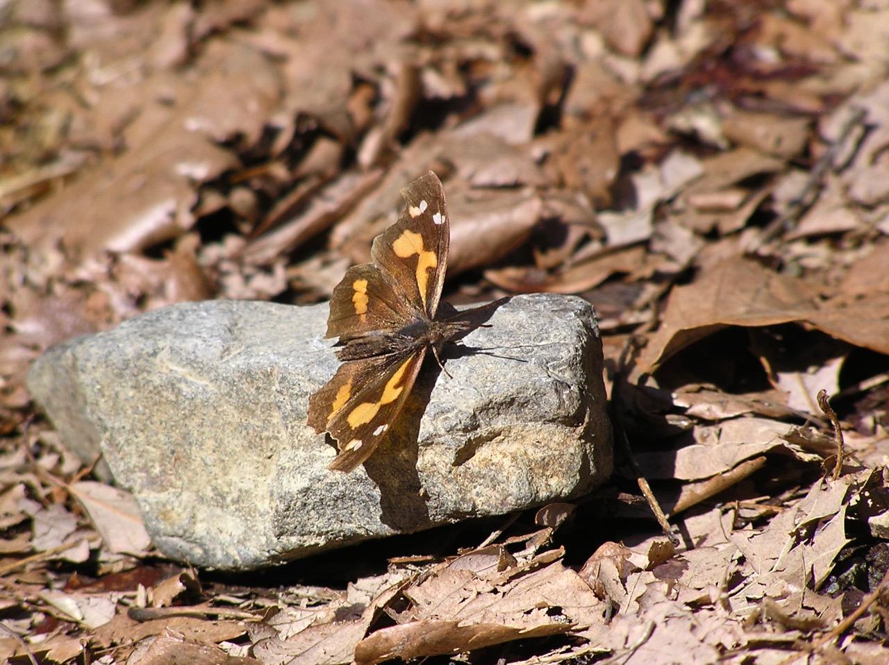 顔の部分が突き出ているのが天狗蝶の名の由来です。