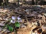 参道の渓流沿いに咲いていました。