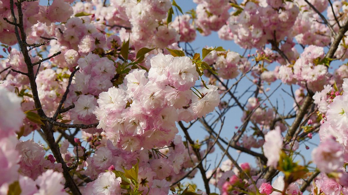こちらは里桜(松月)