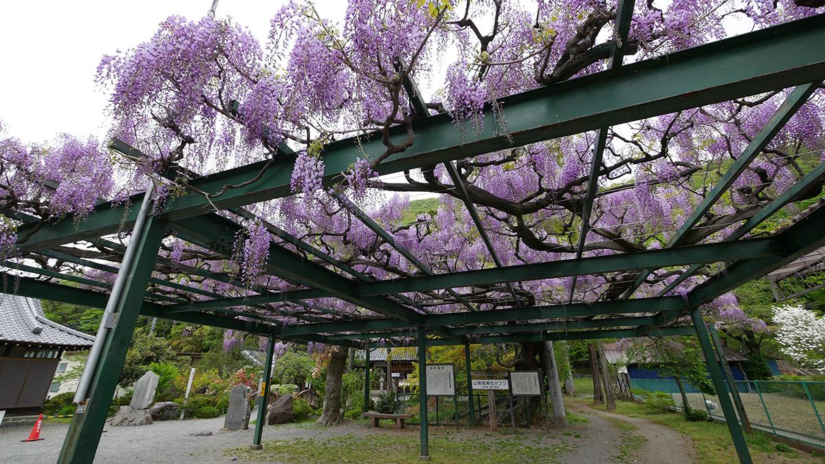 春日居町山梨岡神社の藤の花も色鮮やかに
