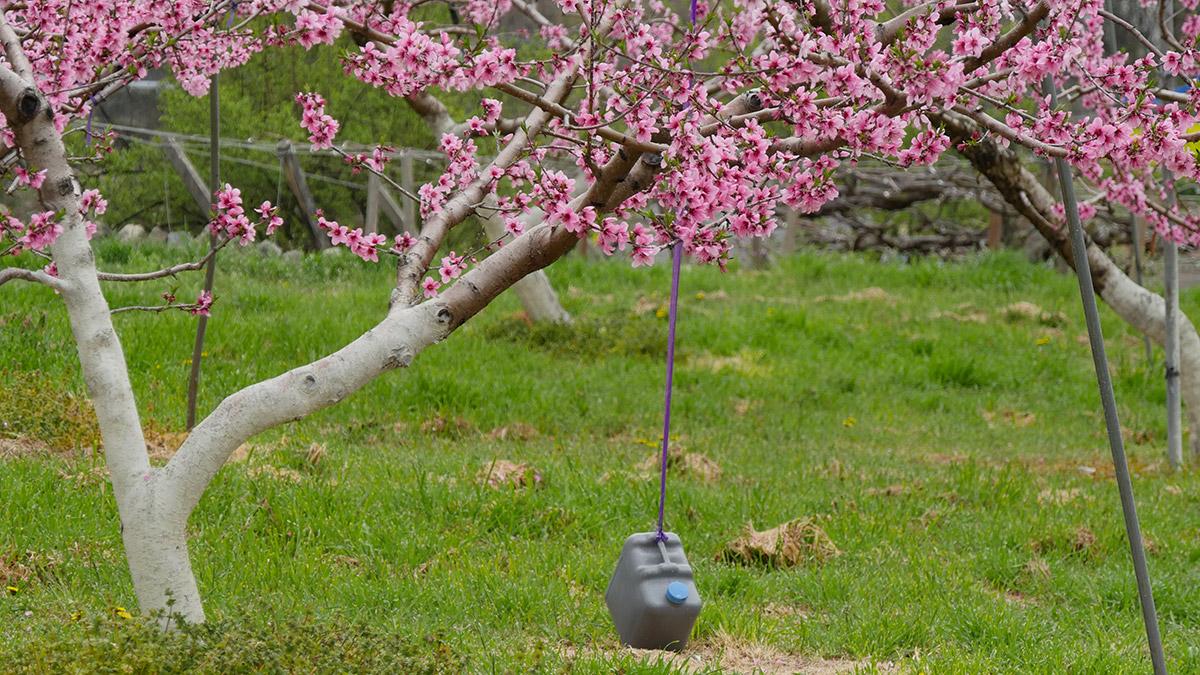 枝に重りをつけて木を仕立てています