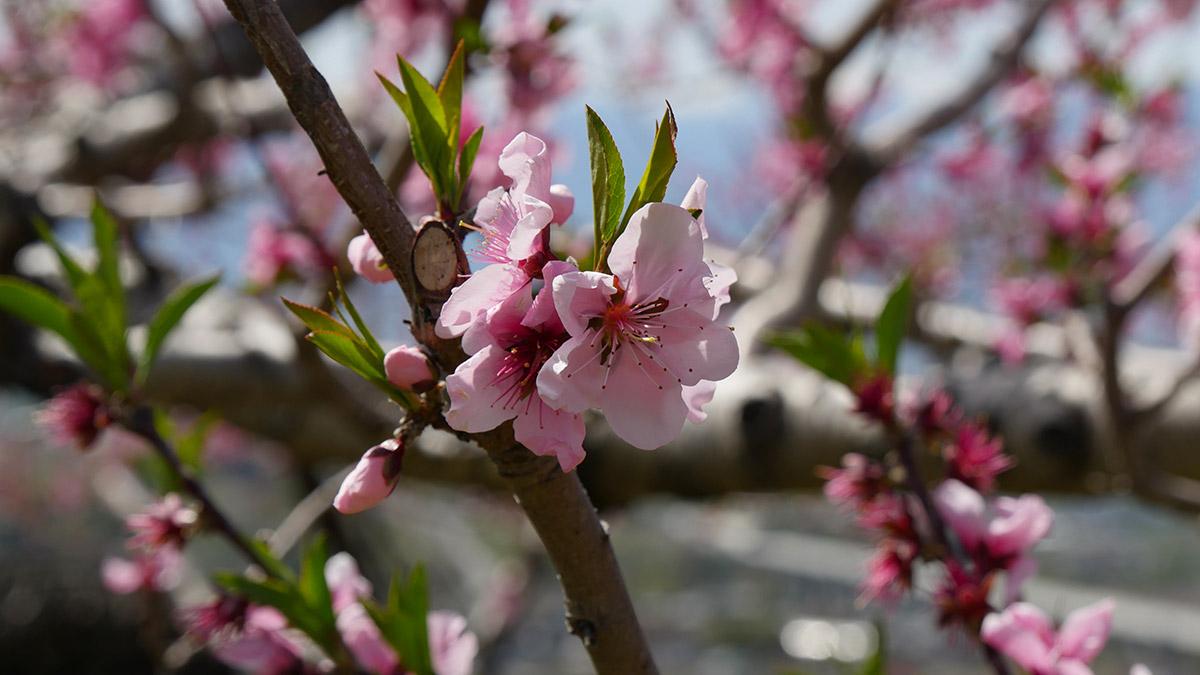 蕾が少しだけ残る枝、でもよく見ると花びらが全部落ちている枝もあります