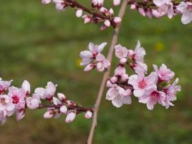 この写真から下は、周辺でも開花が進んでいる畑です。