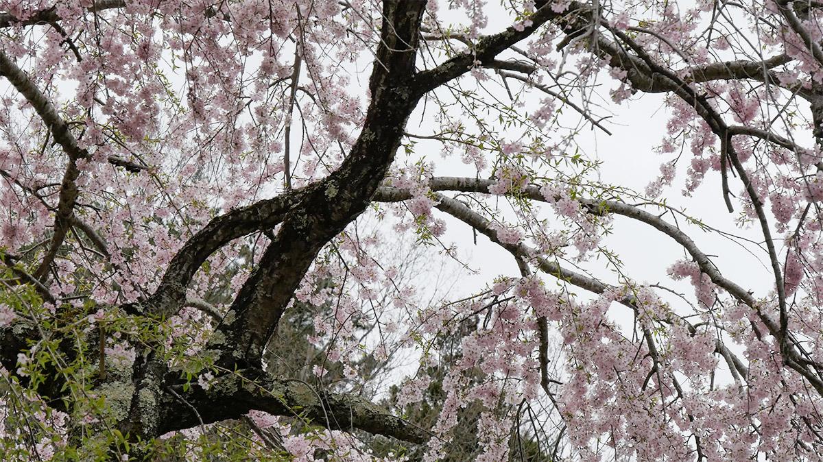2016sakura_asigawa0418_010