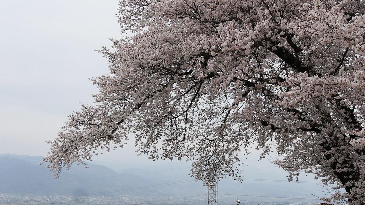 2016sakura_furusato0401_005