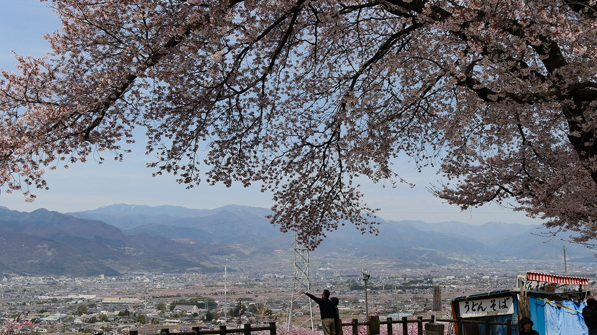 2016sakura_furusato0406_005
