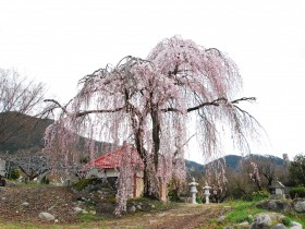 石林寺桜H28.4.2