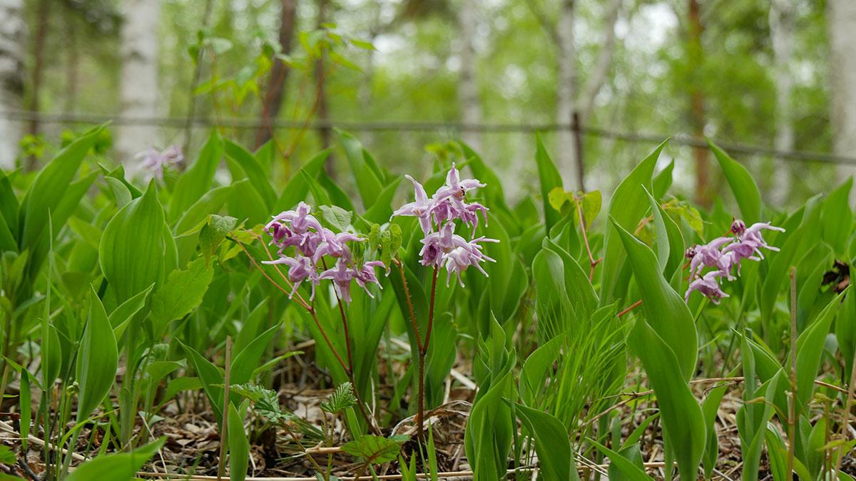 群生地中にはイカリ草なども咲いていますが、すずらん同様に採掘は禁止です