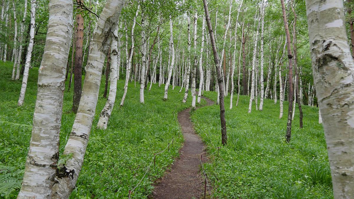 日本すずらんはそろそろ終わりとなりますが、白樺林内の体に優しい空気感はこの場所ならではです