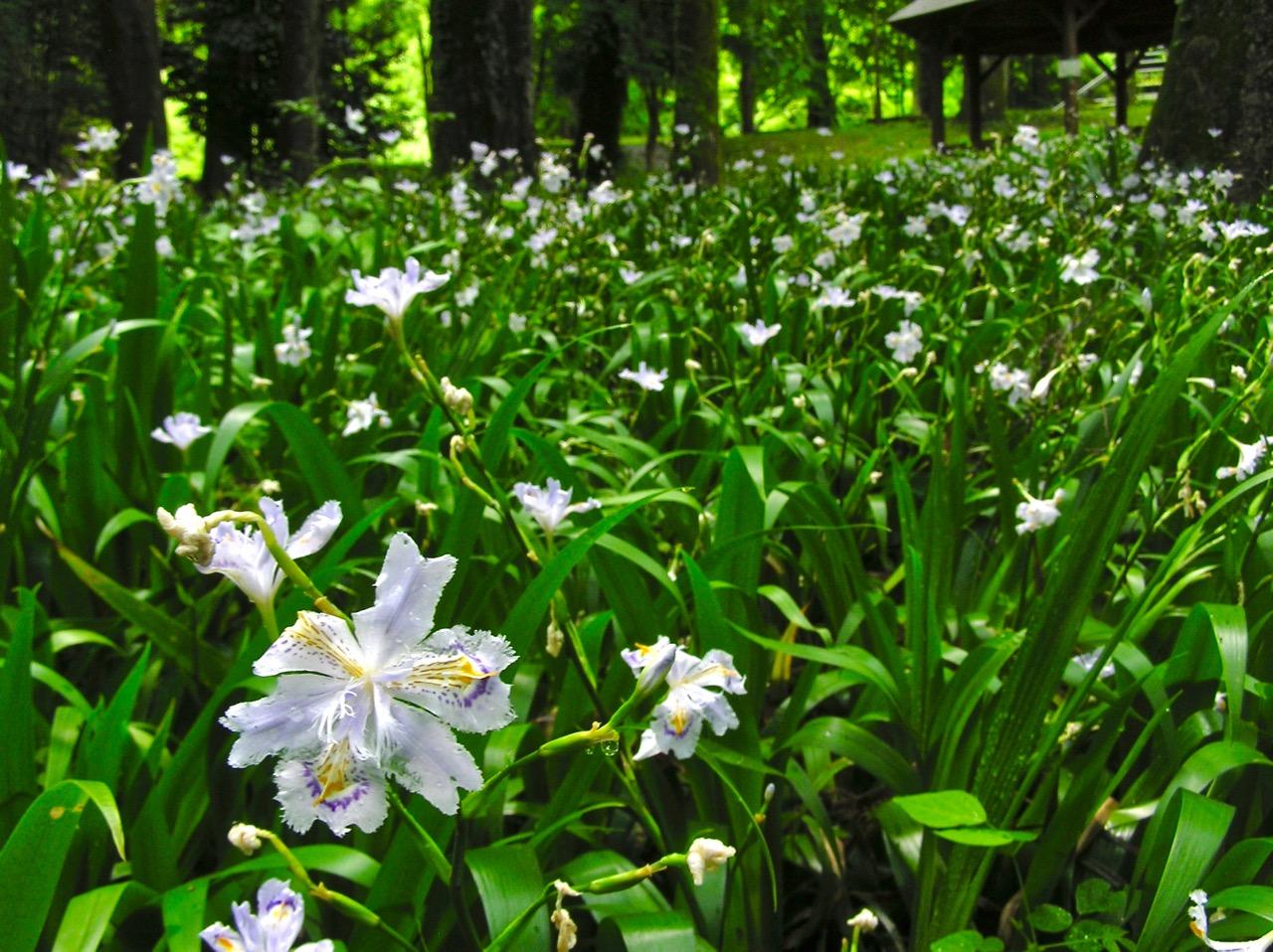 シャガの花は神秘的