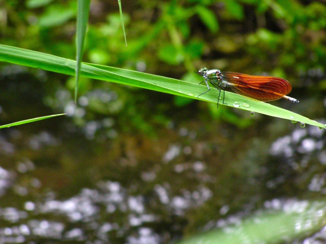 褐色な羽のオス