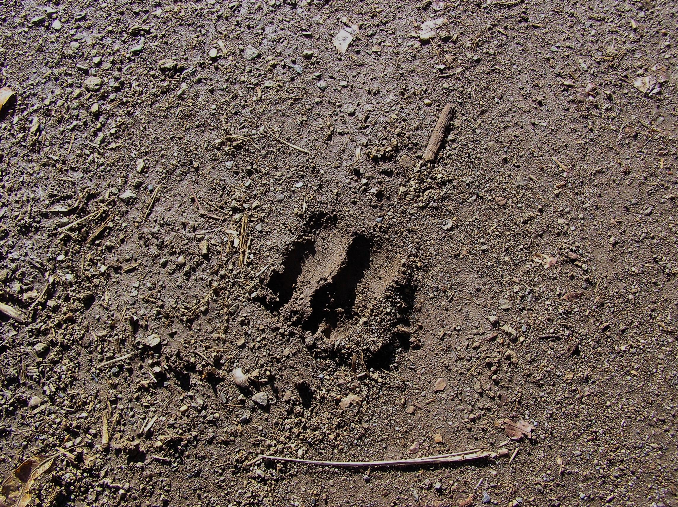 猪の足跡ですね。