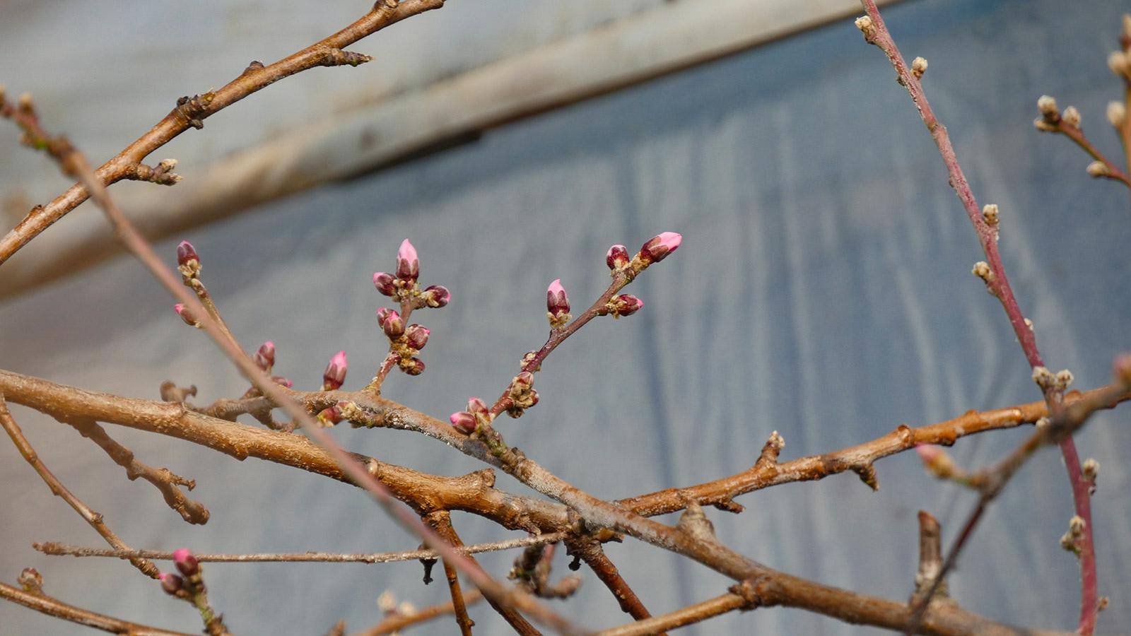 この枝も、今週中には咲きそうです。