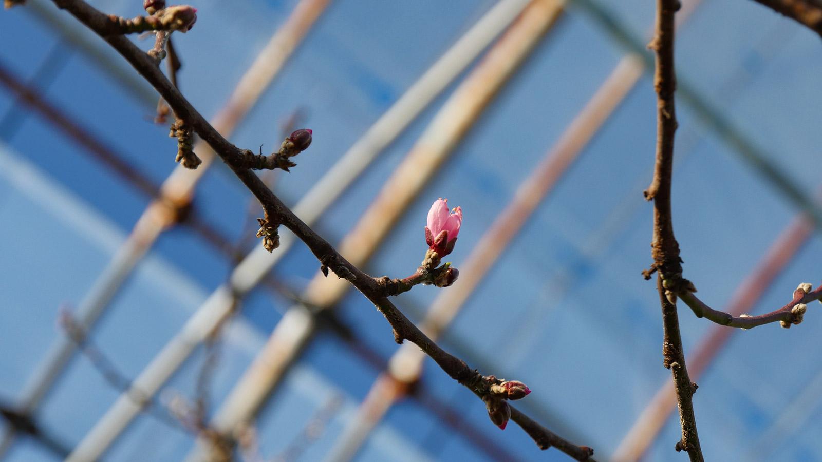 ハウス内、北側の進んでいる木の上を見ると開花寸前。