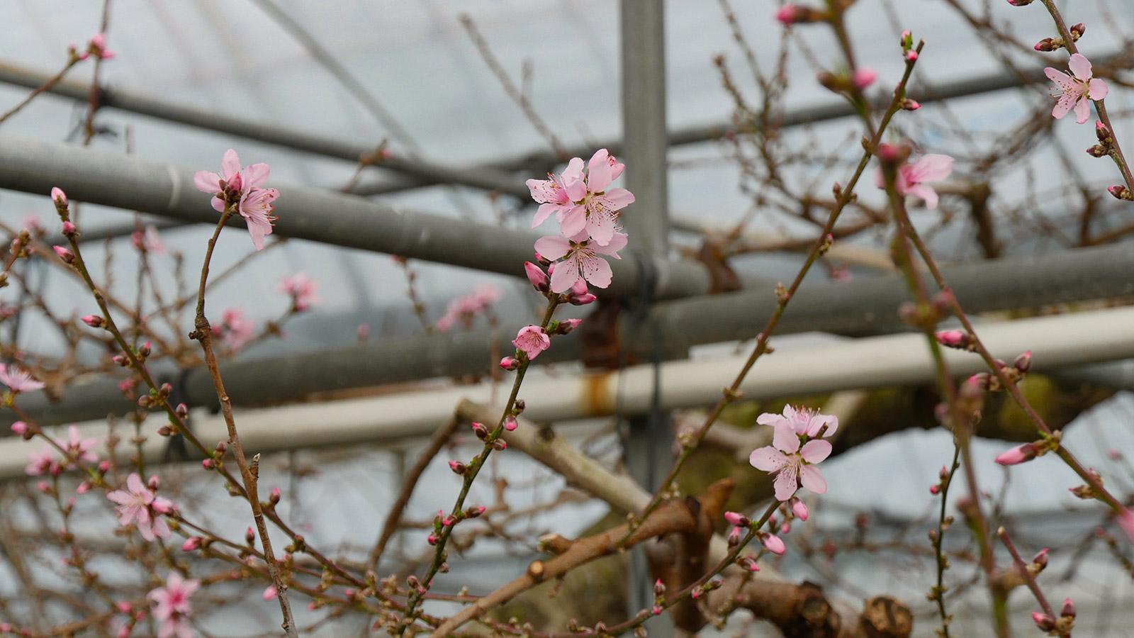このハウス園内の桃は、日川白鳳という品種ですが、桃の品種の中では早生品種です。