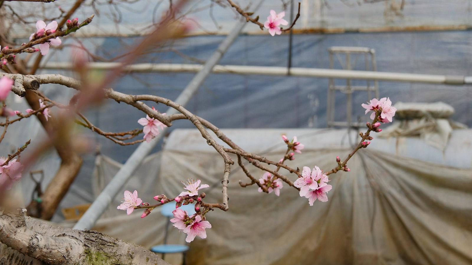桃の花びらも品種によって、実は微妙に違いがあります。