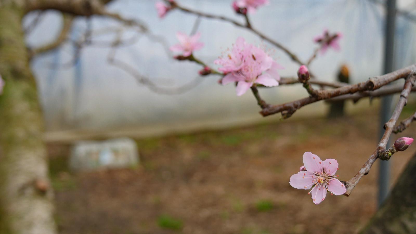 この品種は、花びらがやや小さいのが特徴ですかね。