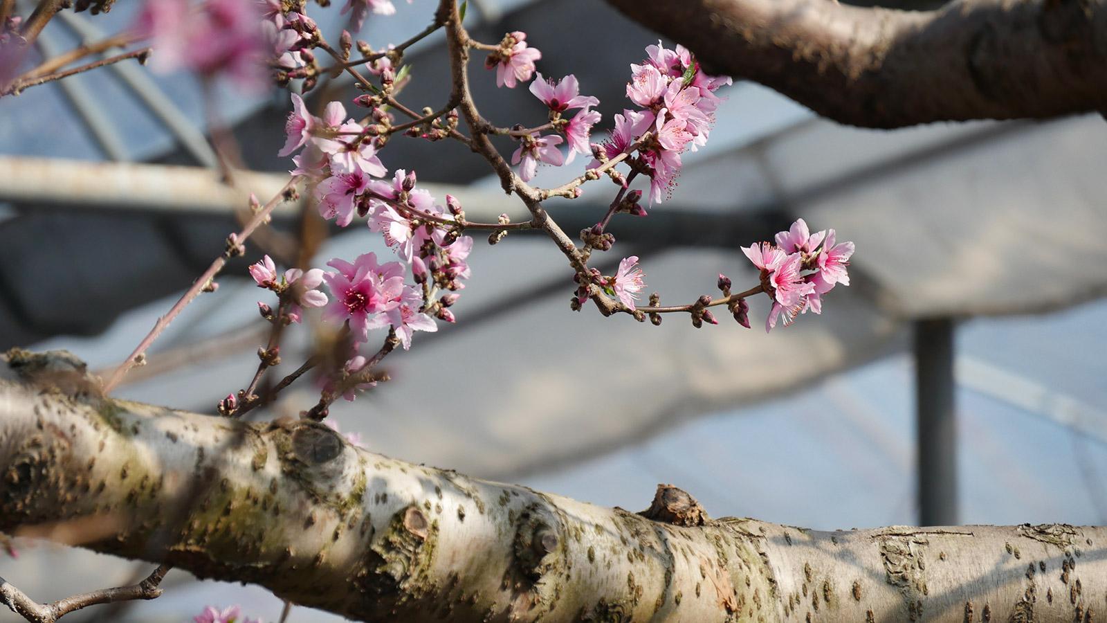 開花状況としては見頃を迎え、しばらくはこちらのハウス桃園でお花見が楽しめます。