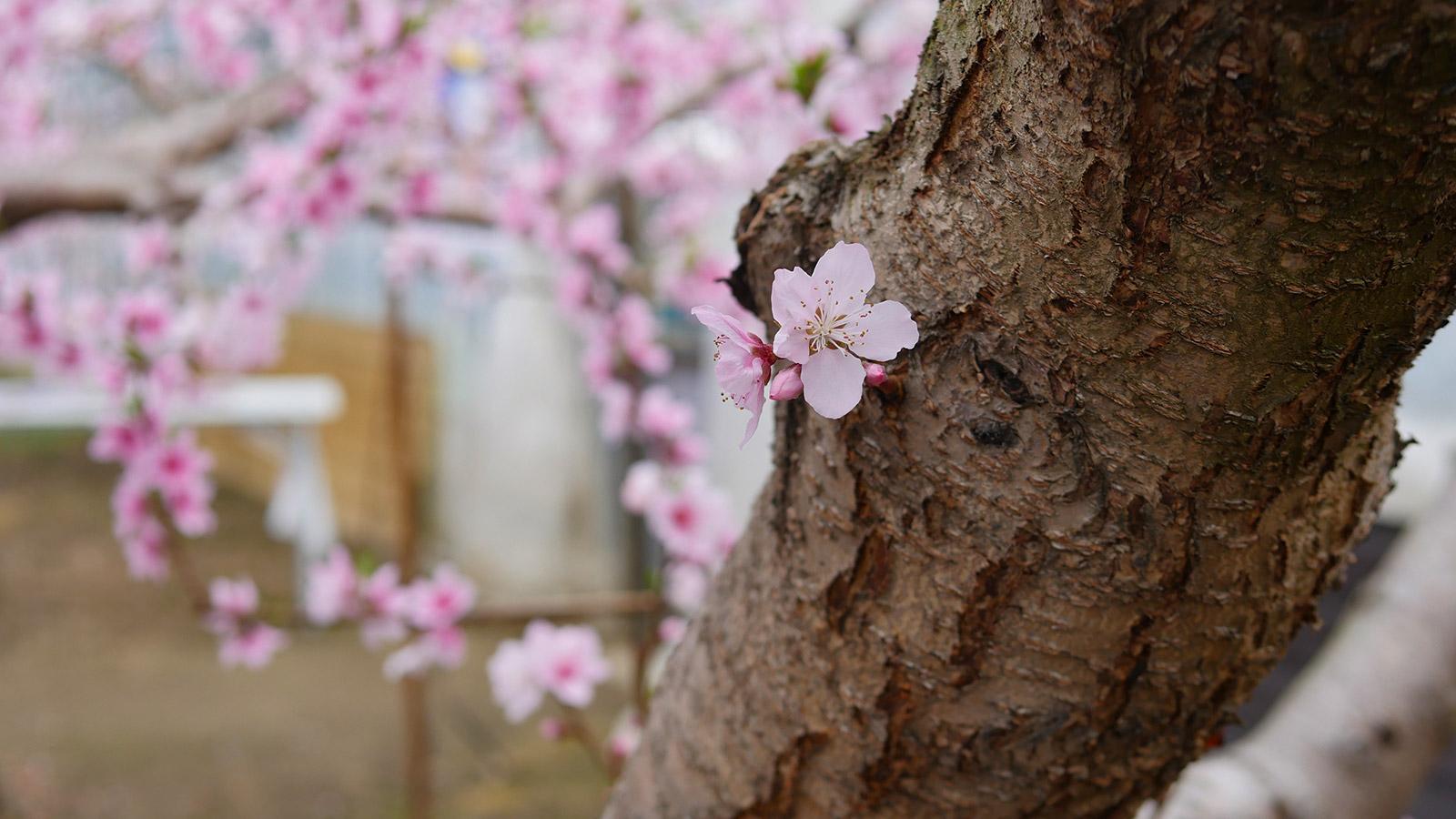 太い木の幹に直に出てきた花芽は可愛いですよね