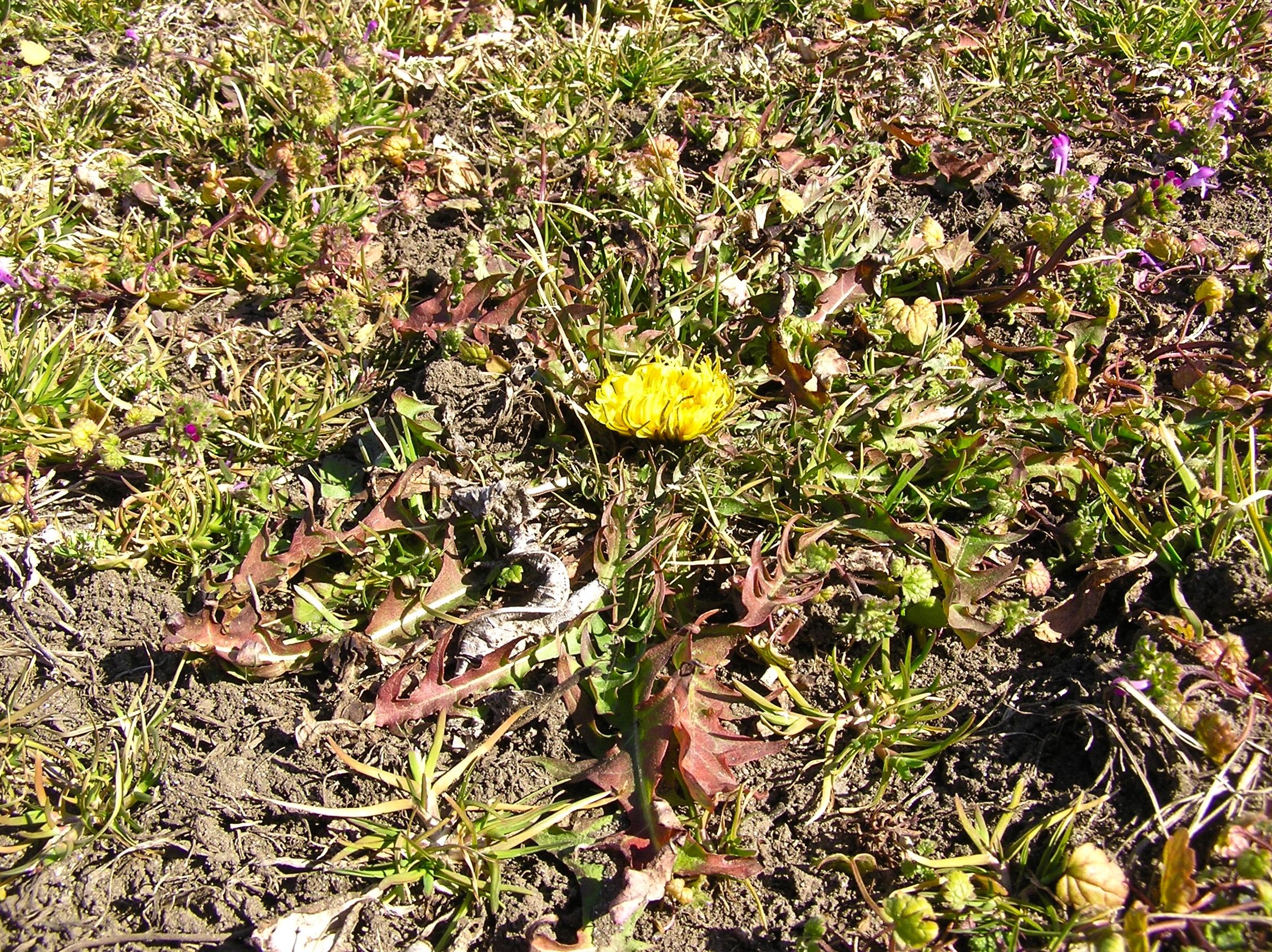 タンポポも咲いていました