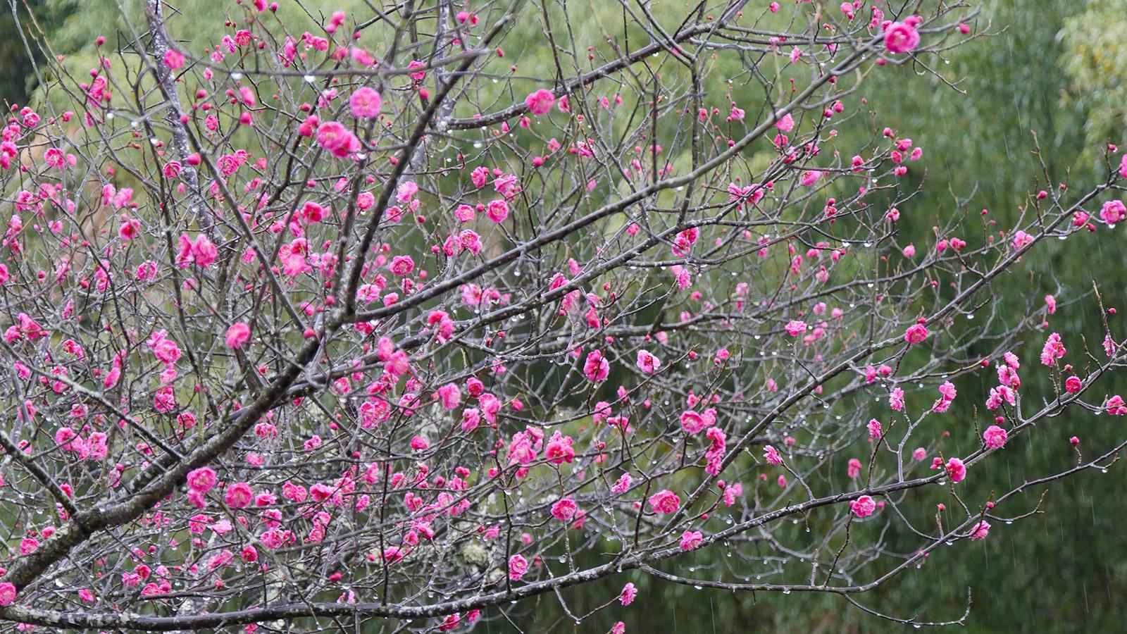公園入口駐車場の梅も見事に咲いています。