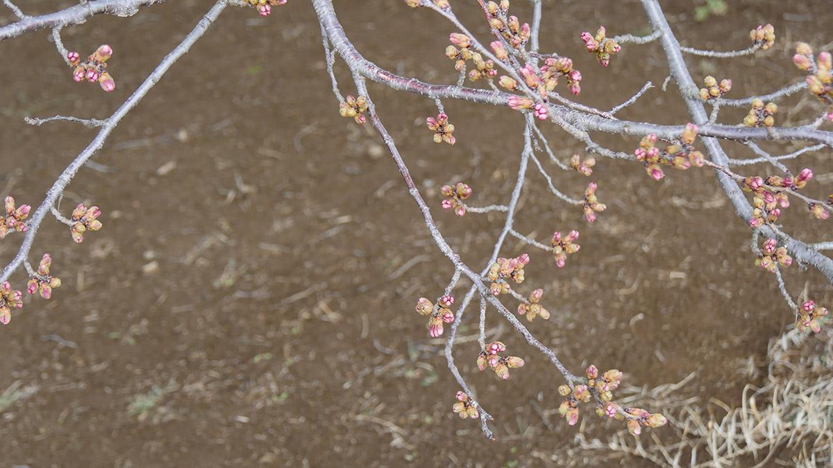 回廊になっている下部の桜よりも、ほんの少しだけこちらの方が進んでいるようです