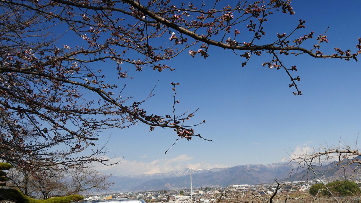 2017koyamajyo_sakura0329_02