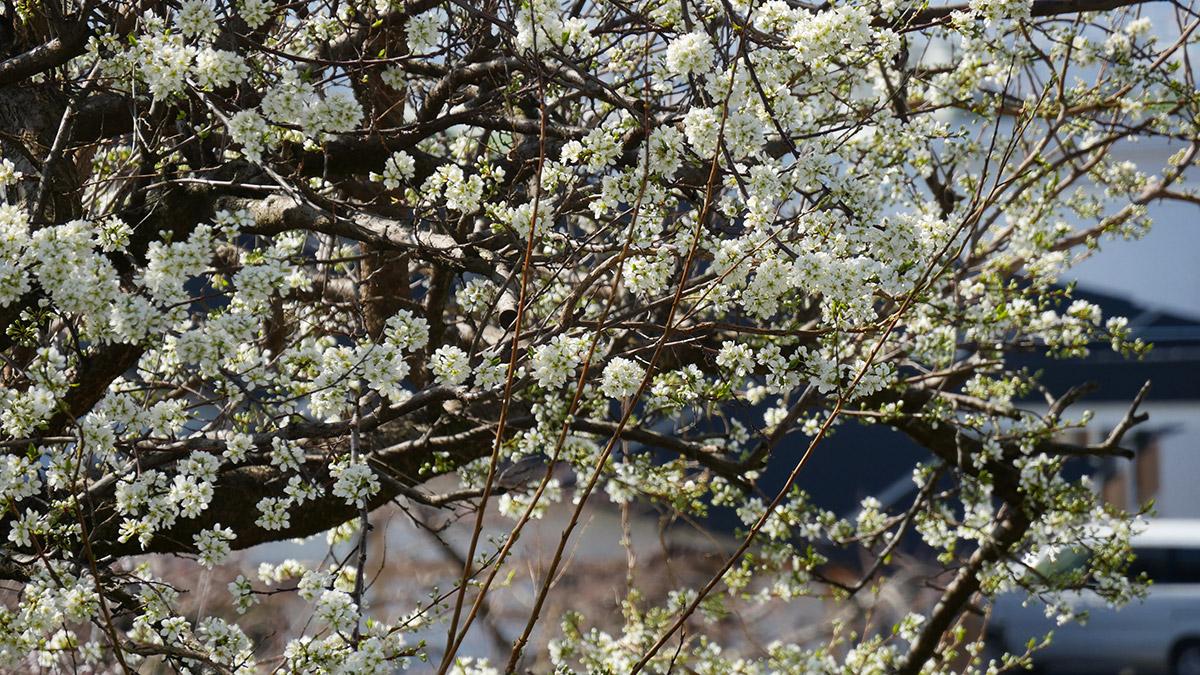 こちらは隣の畑で栽培されているスモモの花です 桜や桃の花と違って花の香りはやや強いですねぇ