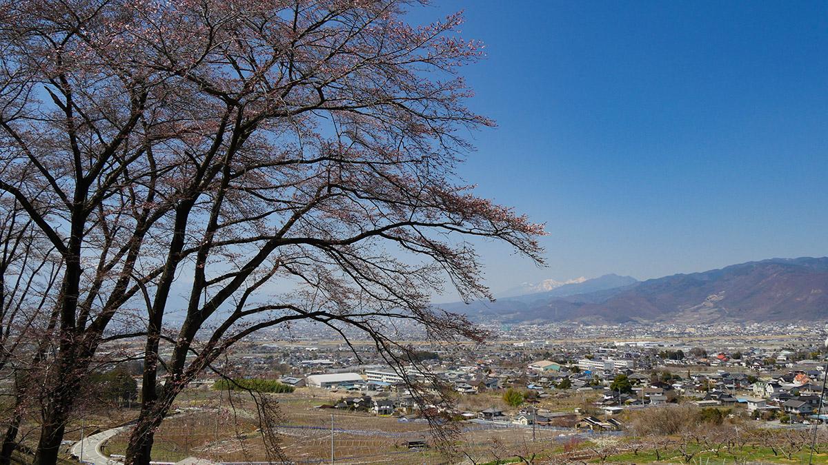 公園下部入り口付近の桜は 木の先端が咲き始めていました