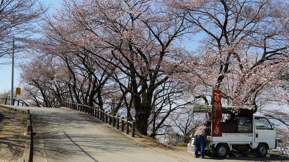 管理棟横の桜は ここにきてだいぶ咲いてきました。