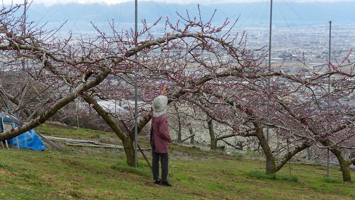 摘蕾、摘花作業と、花が咲くほどに忙しくなる農家です