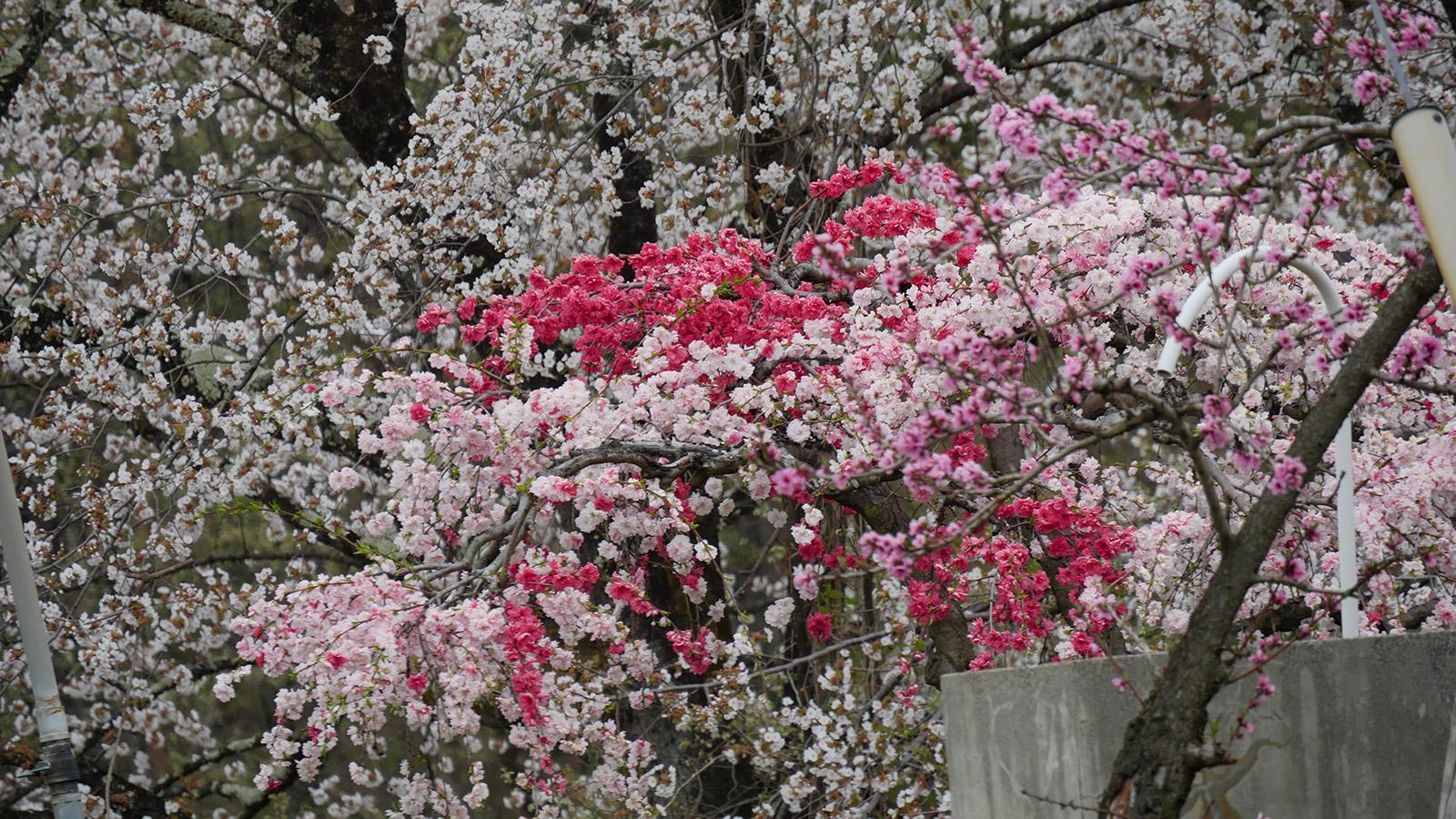 花桃が赤白ピンクと可愛らしく畑の隅に咲いていました