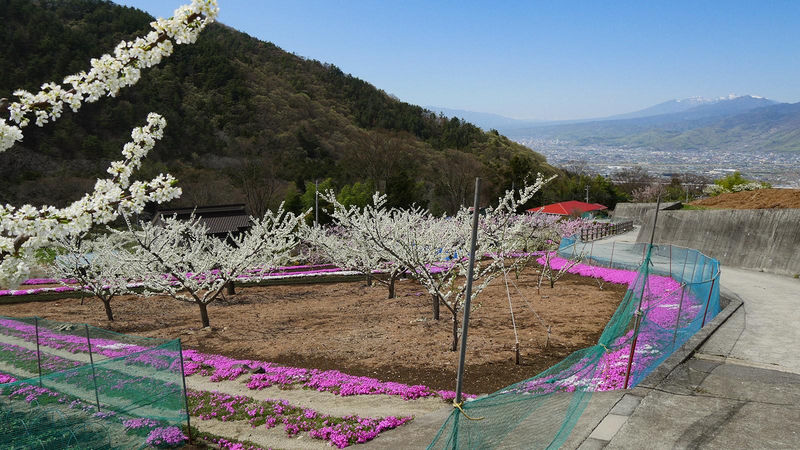 ここから下は八代町奈良原地区の芝桜の様子です