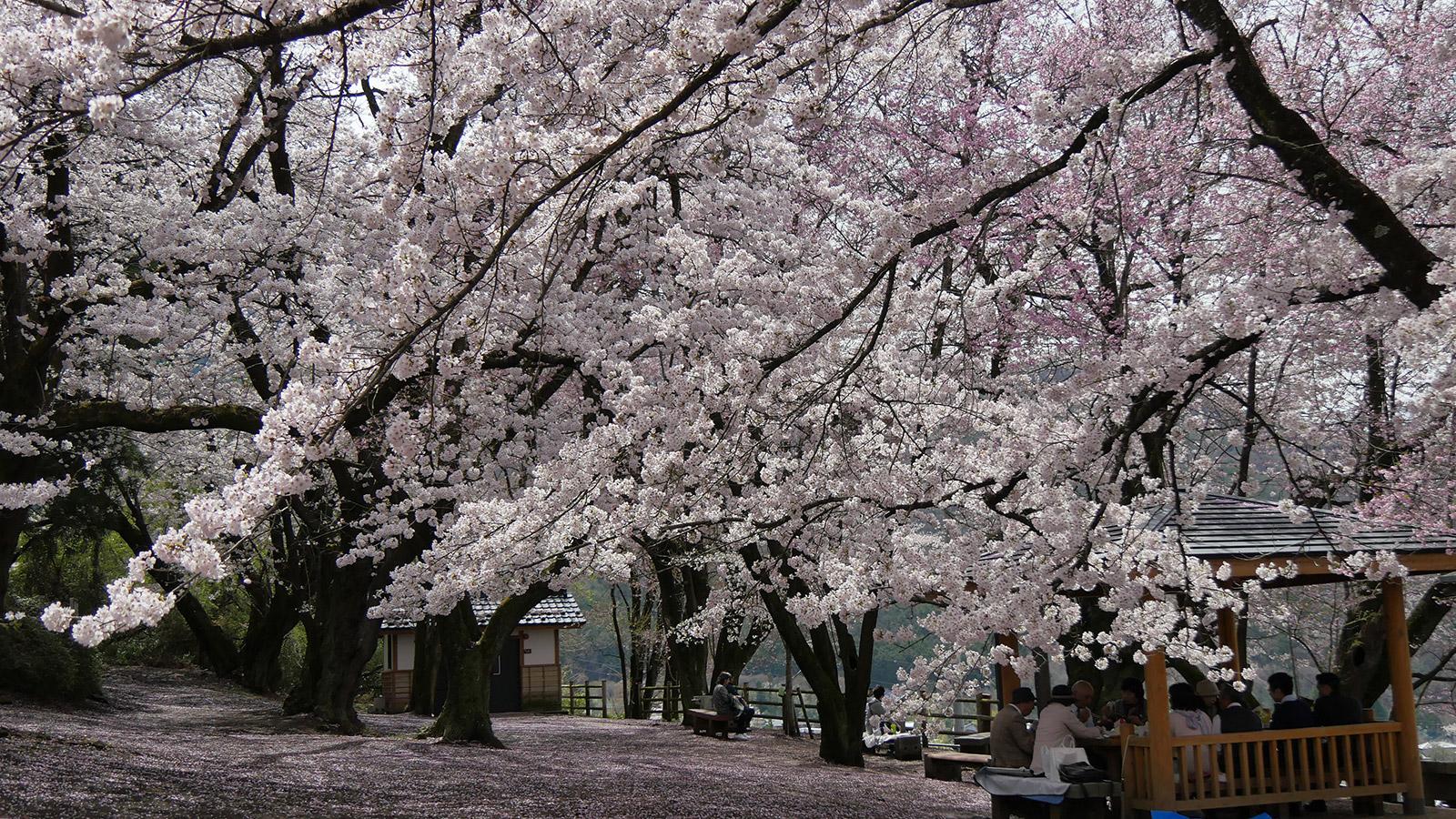 2017hanatoriyama_0412_005
