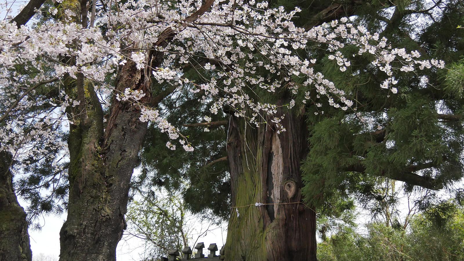 2017hanatoriyama_0412_007