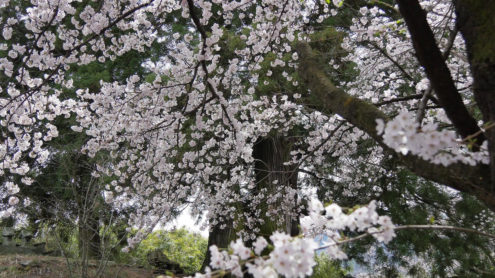 2017hanatoriyama_0412_008