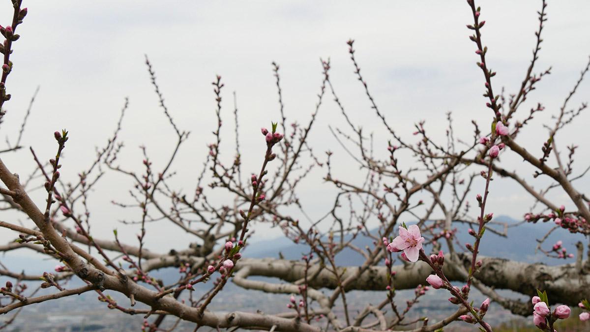 今週15日(土)桃源郷ウェディングが行われる畑です。午前11時時開始のオープン形式ですので、皆さんもお花見ついでにお祝いに来てくださいねぇ。