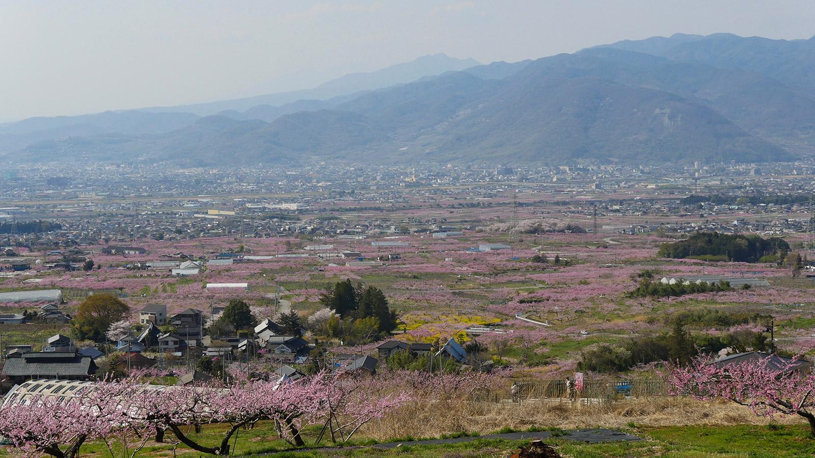 2017hanatoriyama_momo0414_015